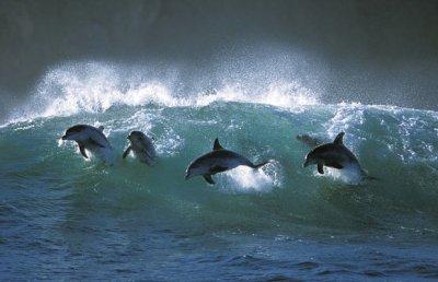 Dauphins dans vagues