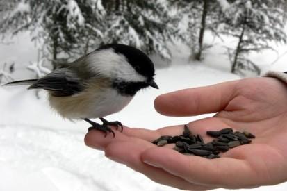 Mésange et main en hiver