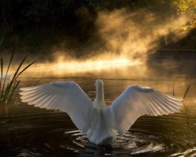 natureswan-lake-bird-pond-wings
