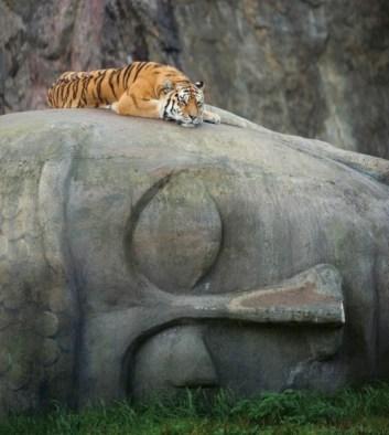 Tigre tête Boudha