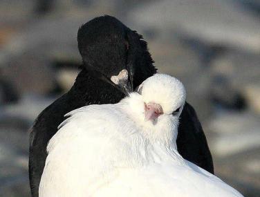 Pigeons noir et blanc