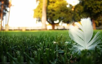 Gazon plume blanche